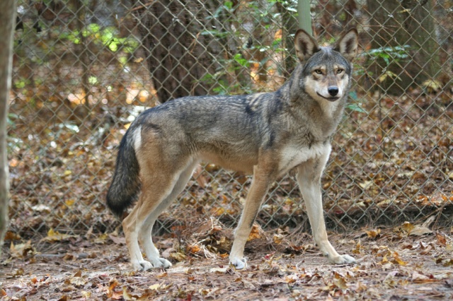 red-wolf-captive-female-at-sandy-ridge-r-nordsven-usfws