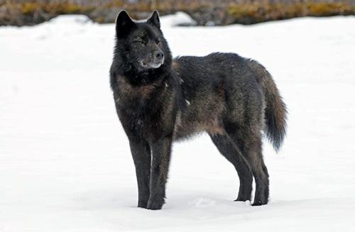 010616_aa_wolf