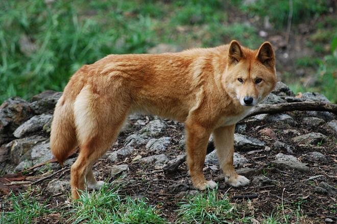 Canis_lupus_dingo_-_cleland_wildlife_park.jpeg