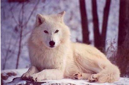 hudson_bay_wolf_03