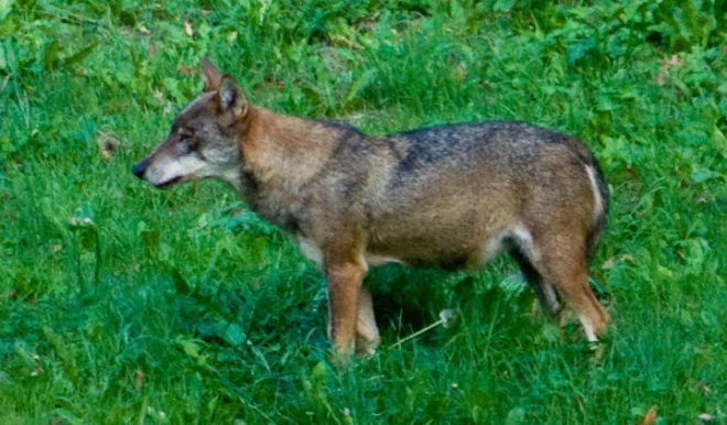 Italian Wolf (Canis lupus italicus) - The Wolf Intelligencer