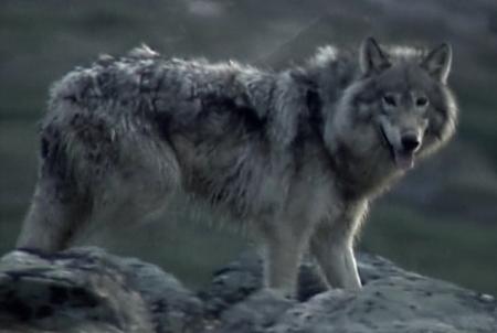 labrador_wolf