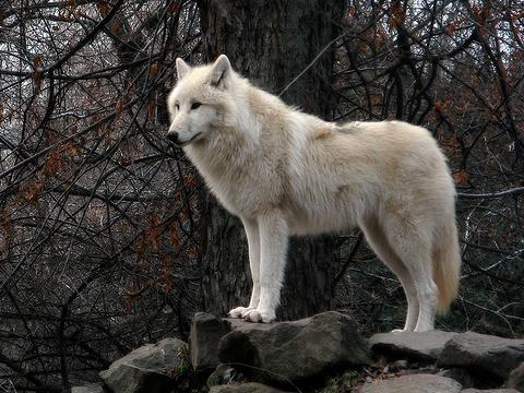 tundra-wolf-2