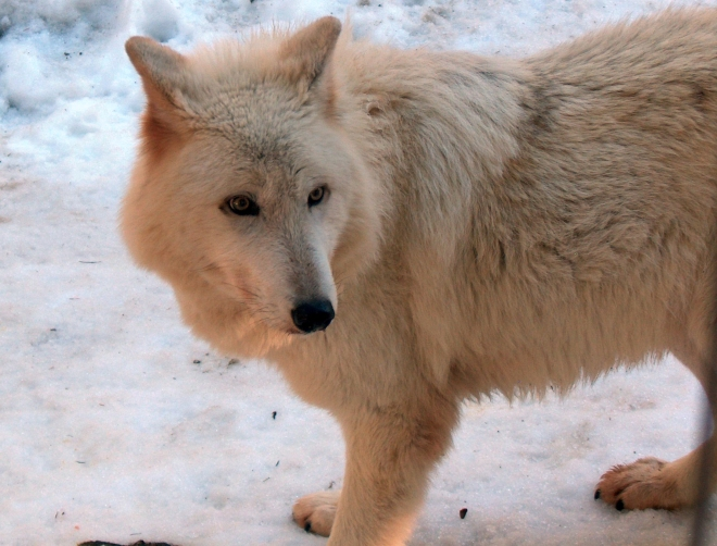 vancouverislandwolf