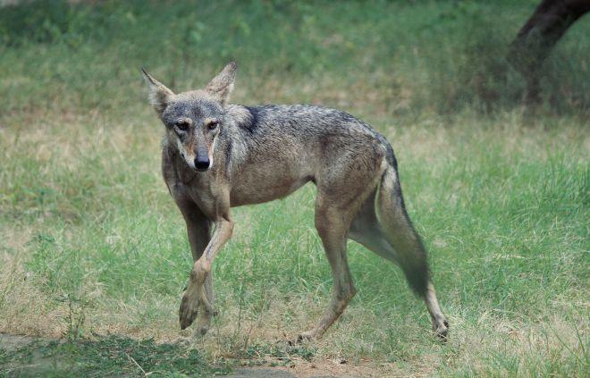 wolf_in_jaipur_zoo_1