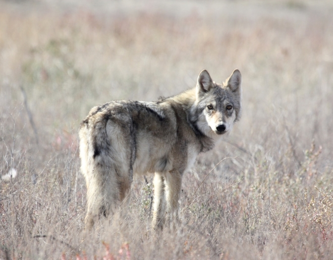 young-steppe-wolf-pic-albert-salemgareev