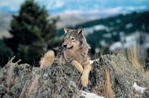 yukon-wolf-2