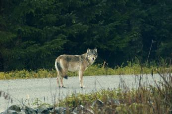 Wolves Are Losing Ground to Industrial Logging in Southeast